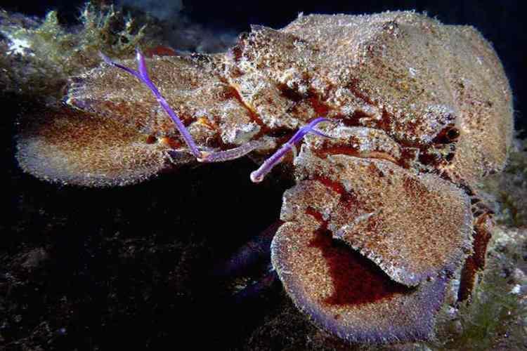 una cicala di mare sul fondale delle cinque terre