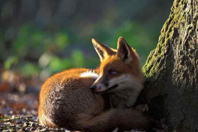 una volpe nell'ambiente boschivo delle cinque terre