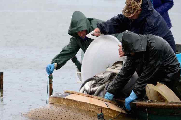 pescatori raccolgono le anguille dal lavoriero