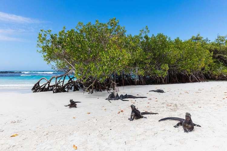 iguana marini a tortuga bay galapagos ecuador