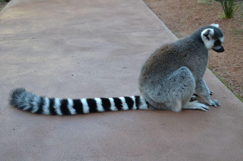 Lemure Taronga Zoo Sydney