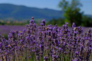 itinerario lavanda sault provenza