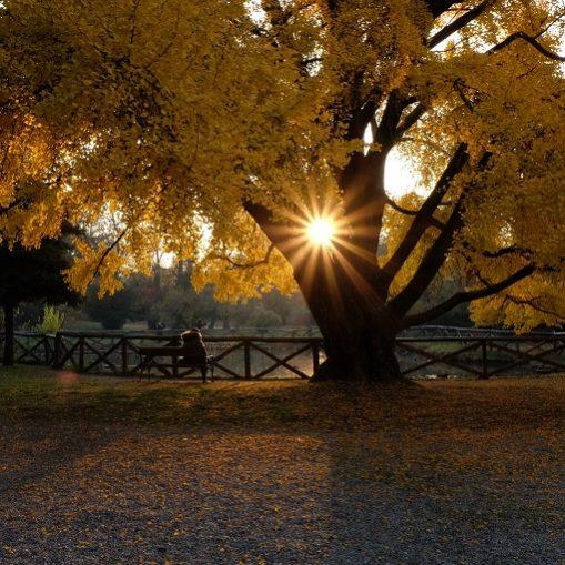 albero ginkgo biloba