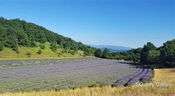 campi di lavanda in italia rodiano