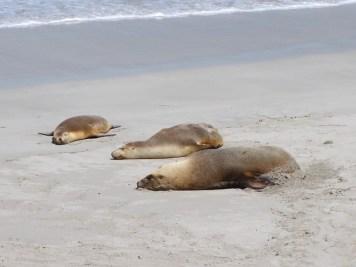 Australia - Kangaroo Island - Seal Bay - Otarie australiane