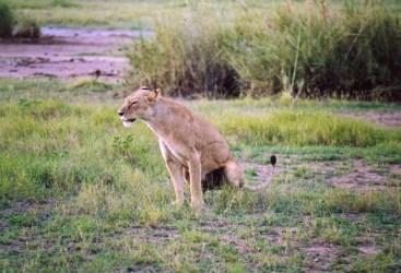 Kenya - Amboseli National Park - Leonessa