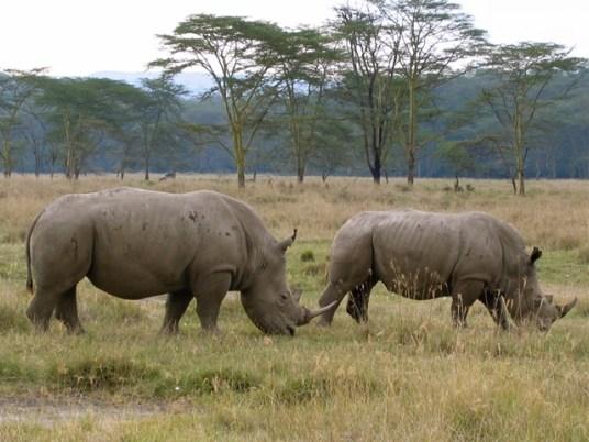 Kenya - Lake Nakuru National Park - Rinoceronti