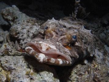 Indonesia - Walea Island - Pesce Coccodrillo