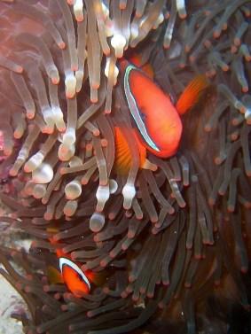 Indonesia - Nabucco Island - Pesce pagliaccio frenato