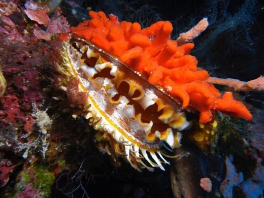 Indonesia - Walea Island - Spondilo Dorato
