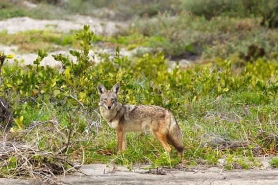 Baja California - Bahia Magdalena - Coyote