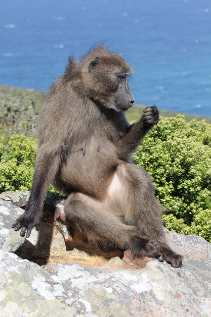 Sudafrica - Cape Point - Chacma baboon