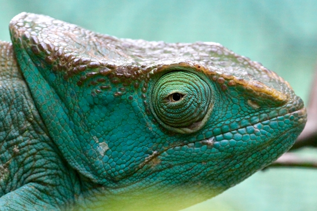 Madagascar camaleonte