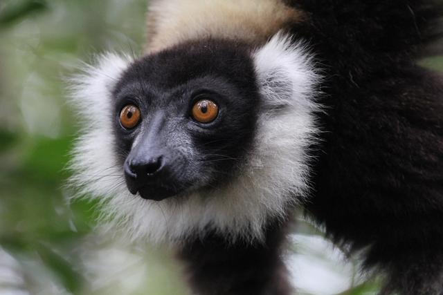 Madagascar - Andasibe - Vakona Private Reserve - Lemure vari bianco e nero