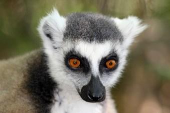 Madagascar - Riserva naturale di Anja - Lemure makis
