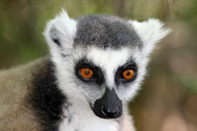 Madagascar lemuri