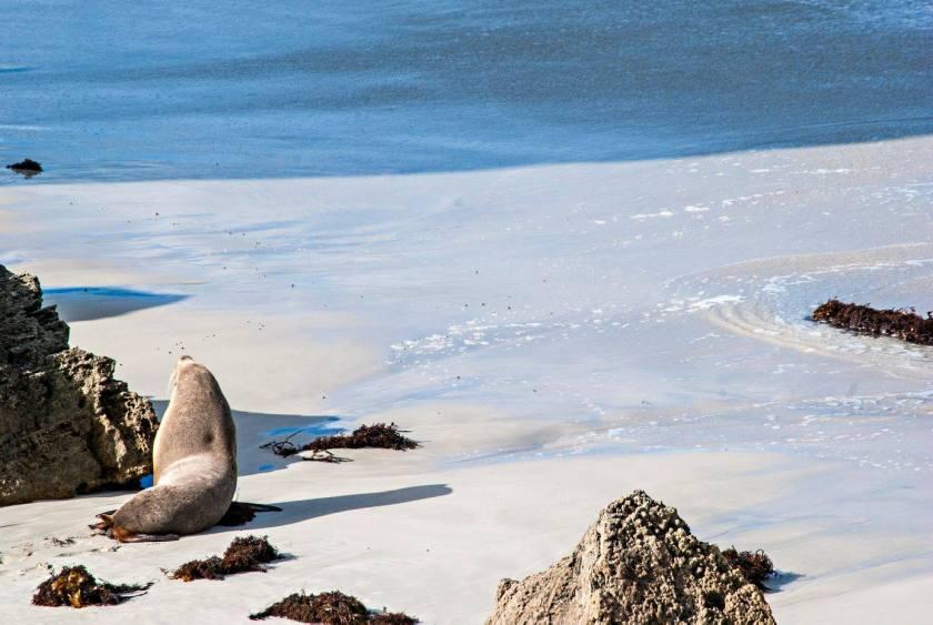 vedere le colonie di leoni marini in australia