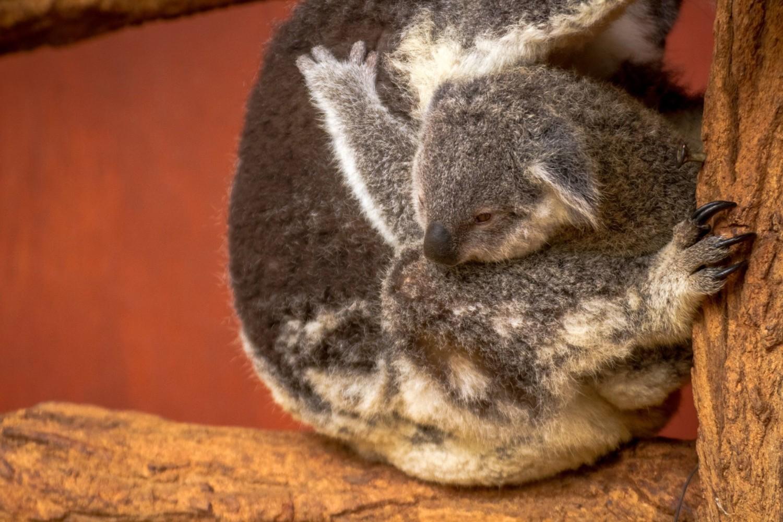 Lone Pine Koala Sanctuary a Brisbane