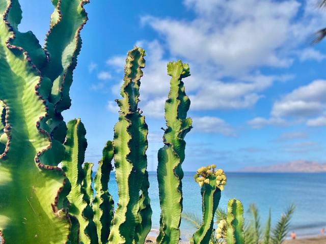 cactus delle isole canarie