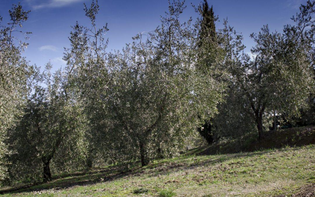 L'olio biologico dell'Agriturismo Cornieto