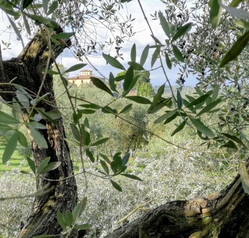 valdera-raccolta-olive-in-toscana