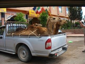 i cammelli del Marocco