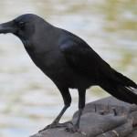 Pájaro en el lago Kandawgyi