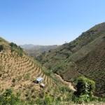 Encontramos cultivos de naranjas y de té