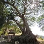 El árbol de buda, de estos dicen que parecen pies descalzos