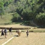 Búfalos, niños, terrazas de arroz y caminantes
