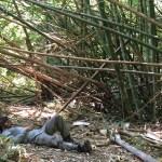 La siesta después de almorzar en medio de un bosque de bambú