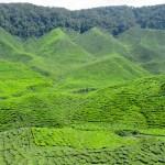 Cameron Valley Tea Plantation
