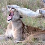 Los leones en general pasan gran parte del día descansando