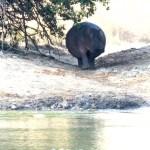 Hipopótamo rumbo al río