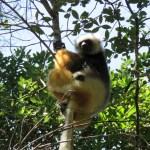Lemur Sifaka con su bebé