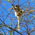 Lémur blanco