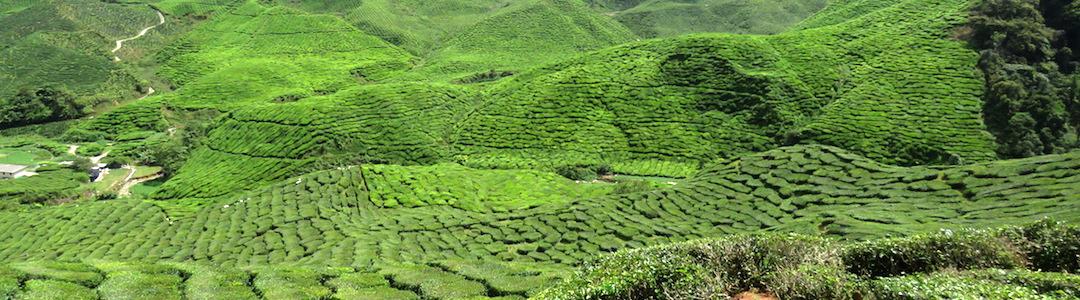 Las plantaciones de té son un atractivo para visitar Malasia