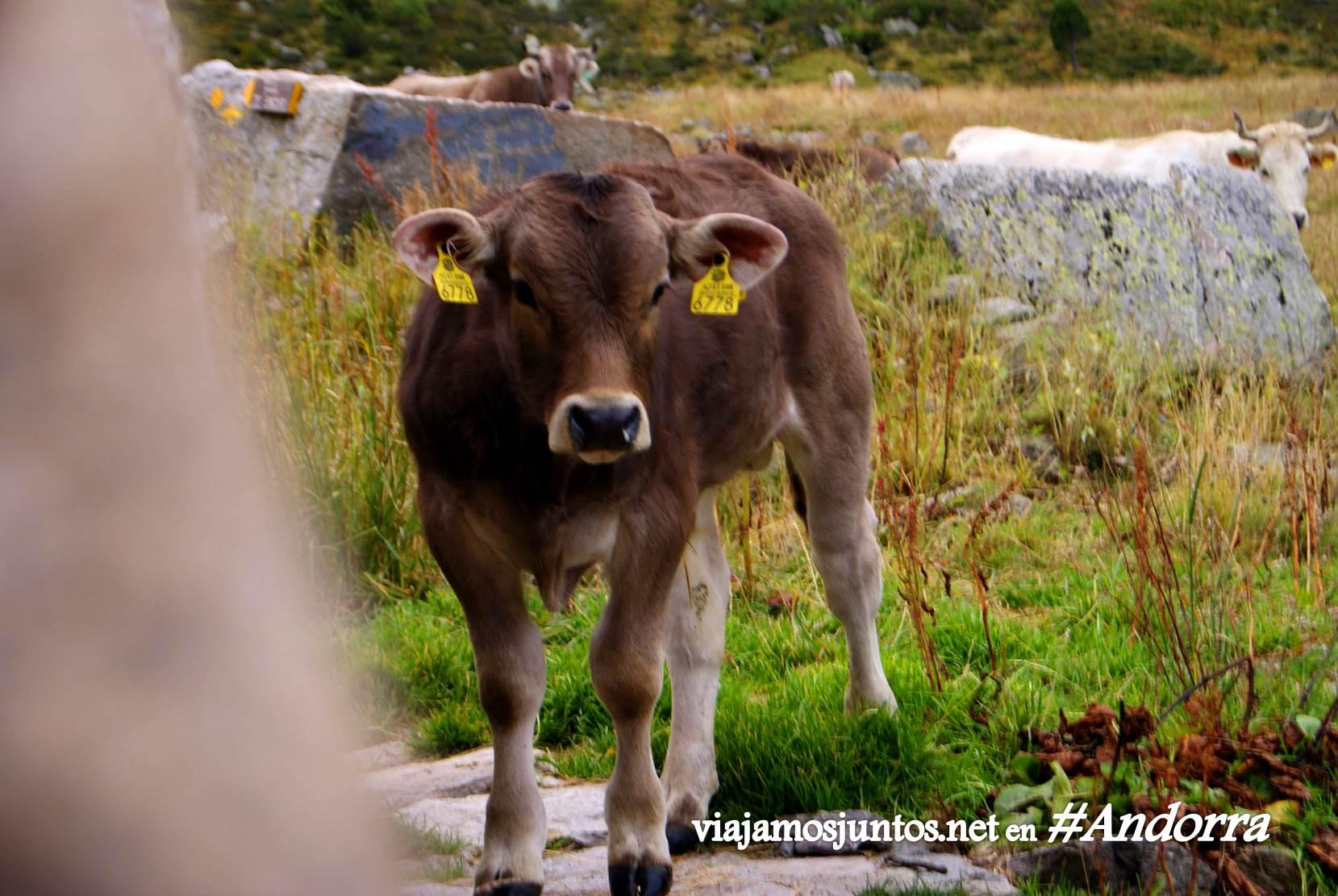 Vacas cerca del refugio de Siscaró, Andorra, GRP, Pirineos