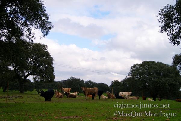 Vacas, Parque Nacional de Monfragüe y la Reserva de la Biosfera de Monfragüe, Extremadura