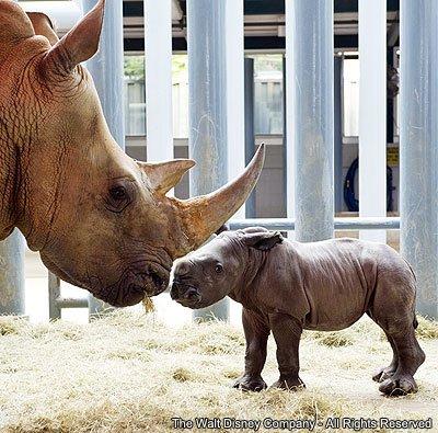 Nasce mais um rinoceronte branco no Disney's Animal Kingdom