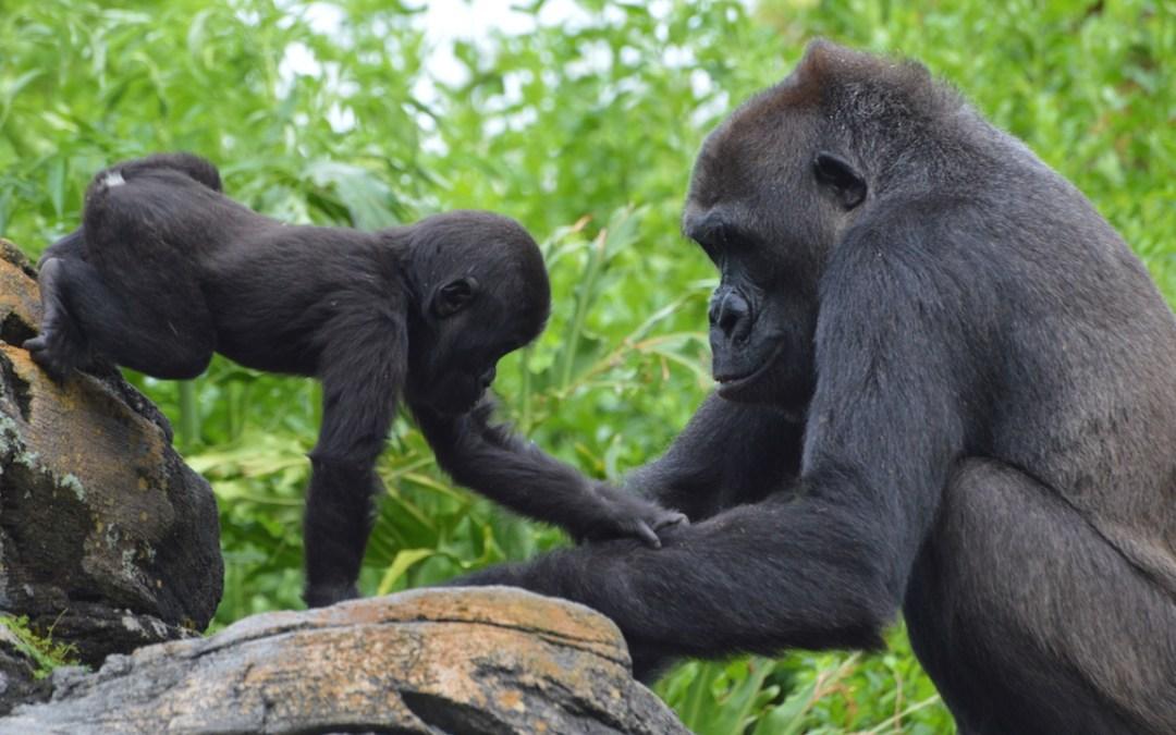 Celebração de aniversário da gorila Grace no Animal Kingdom