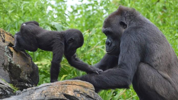Western lowland gorilla Grace and mother Kashata at Disney's Animal Kingdom