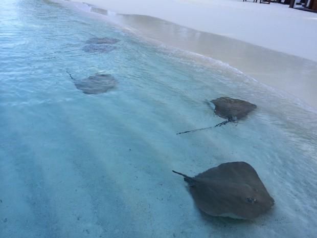 Arraias em Maldivas