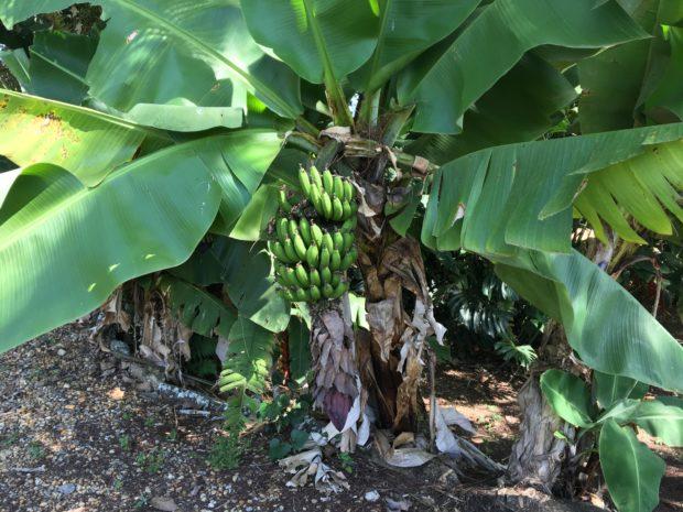 Mini Bananeira