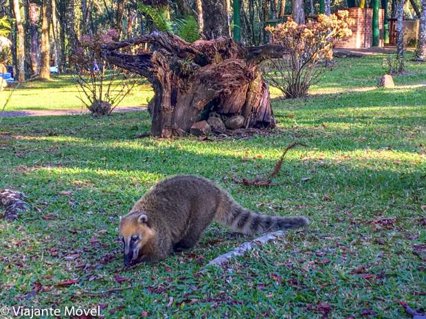 O que fazer em Gramado e Canela: Quatis no Parque da Ferradura