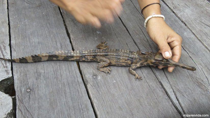 Una cria de cocodrilo