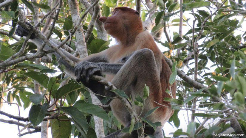 Mono narigudo en el Parque Nacional de Tanjung-Puting
