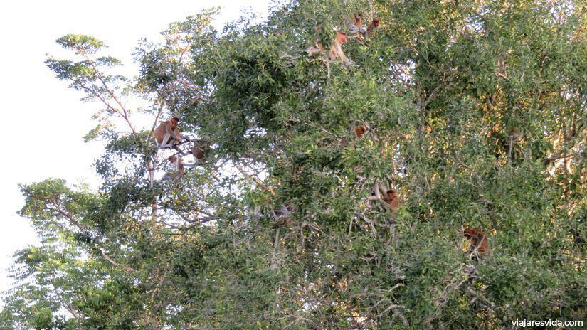 Monos narigudos montando escándalo en lo alto de los árboles