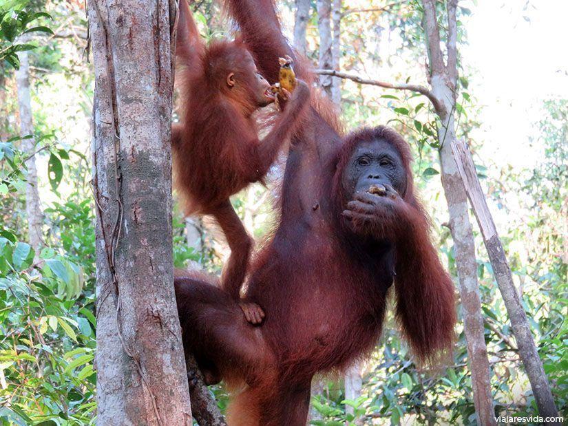 Los orangutanes bebé son adorables