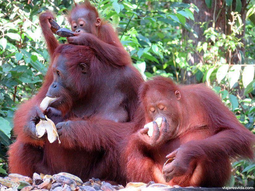 Familia de orangutanes de Borneo